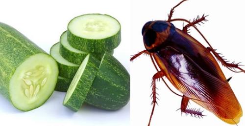 Photo of ¿Cucarachas en tu hogar? Diles adiós con tan solo un pepino